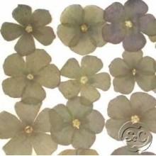 Flores naturales secas prensadas Phiox drummondi