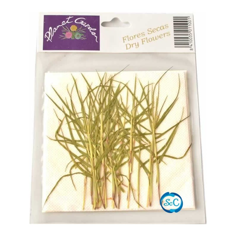 Hojas naturales secas prensadas Glyceria acutiflova