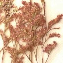 Flores naturales secas prensadas Limonium belldifolium