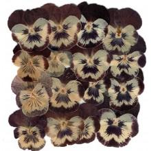 Flores naturales secas prensadas viola wittrockiana
